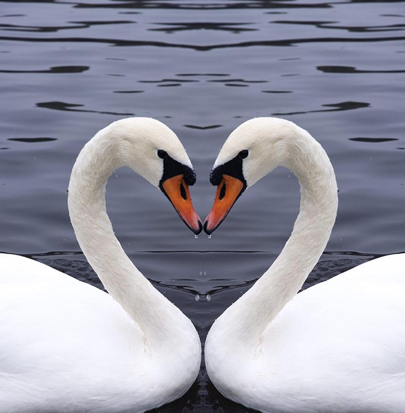 To-svaner-hjerte